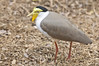• Palm Beach Zoo<br /> • Masked Lapwing
