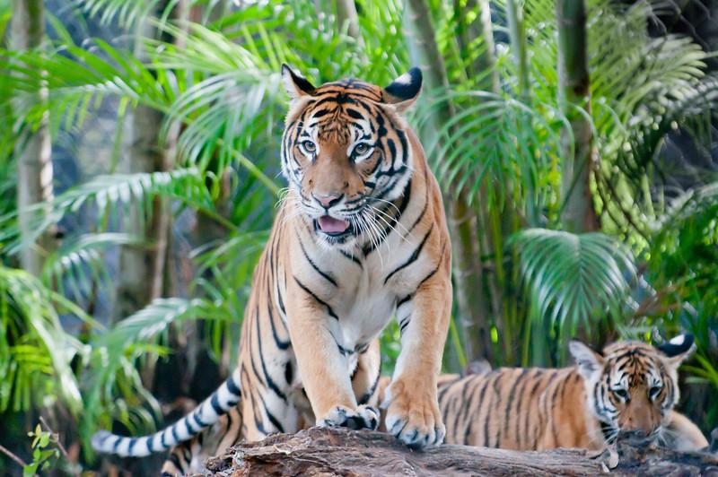 • Palm Beach Zoo<br /> • Malayan Tiger cubs