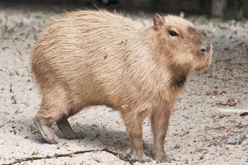 • Palm Beach Zoo<br /> • Capybara