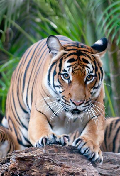 • Palm Beach Zoo<br /> • Malayan Tiger