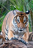 • Palm Beach Zoo<br /> • Malayan Tiger