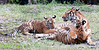 • Palm Beach Zoo<br /> • Malayan Tiger cubs with their mother