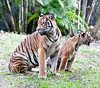 • Palm Beach Zoo<br /> • Malayan Tiger cub with its mother