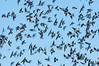 • Robert Amoruso Workshop<br /> • Flock of Tree Swallows<br /> • Nikon D300S with a 70-200mm f2.8 lens