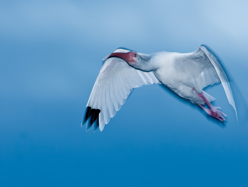 •Robert Amoruso Workshop<br /> • White Ibis<br /> • Used a Flash with Better Beamer<br /> • Nikon D300S with a 70-200mm f2.8 lens