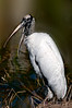 • Robert Amoruso Workshop<br /> • Wood Stork<br /> • Nikon D300 with a 500mm f4 manual focus lens