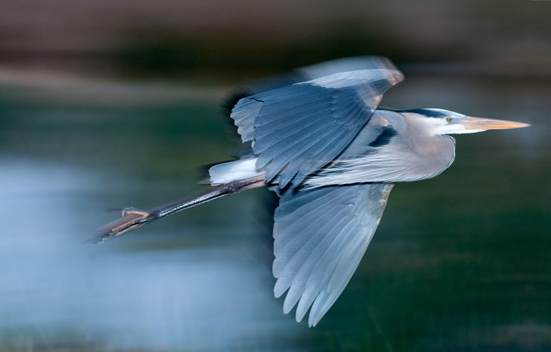 • Robert Amoruso Workshop<br /> • Great Blue Heron<br /> • Used a Flash with Better Beamer<br /> • Pan Blur<br /> • Nikon D300S with a 70-200mm f2.8 lens
