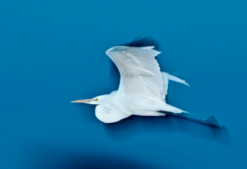 • Robert Amoruso Workshop<br /> • Great Egret<br /> • Used a Flash with Better Beamer<br /> • Motion Blur<br /> • Nikon D300S with a 70-200mm f2.8 lens