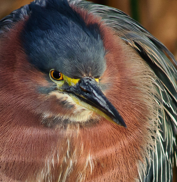 • Robert Amoruso Workshop<br /> • Close-Up of a Green Heron<br /> • Nikon D300 with a 500mm f4 manual focus lens