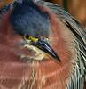 •Robert Amoruso Workshop<br /> • Close-Up of a Green Heron<br /> •Nikon D300 with a 500mm f4 manual focus lens