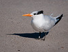 Royal Tern - I guess they are tagging Terns now