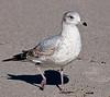 Ring-billed Gull taking a walk