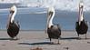 A trio of Brown Pelicans