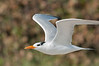 Royal Tern inflight
