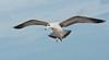 Ring-billed Gull inflight