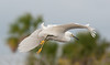 • Location - Merritt Island National Wildlife Refuge Black Point Drive Stop 12<br /> • Snowy Egret in flight