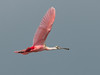 • Location - Merritt Island National Wildlife Refuge Black Point Drive Stop 12<br /> • Roseate Spoonbill in flight