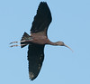 • Location - Merritt Island National Wildlife Refuge Black Point Drive Stop 12<br /> • Glossy Ibis in flight