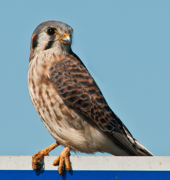 • Location - Moccasin Island Tract<br /> • Male American Kestrel