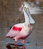 • Location - Merritt Island National Wildlife Refuge Black Point Drive Stop 12<br /> • Roseate Spoonbill