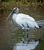 • Location - Merritt Island National Wildlife Refuge Black Point Drive Stop 12<br /> • Wood Stork