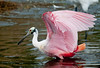 • Location - Merritt Island National Wildlife Refuge Black Point Drive Stop 12<br /> • Roseate Spoonbill ready for take off