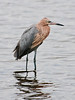 • Location - Merritt Island National Wildlife Refuge Black Point Drive Stop 12<br /> • Reddish Egret