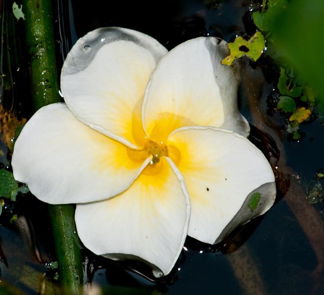 • Wakodahatchee Wetlands<br /> • Frangipani Flower