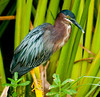 • Green Cay Wetlands<br /> • Green Heron