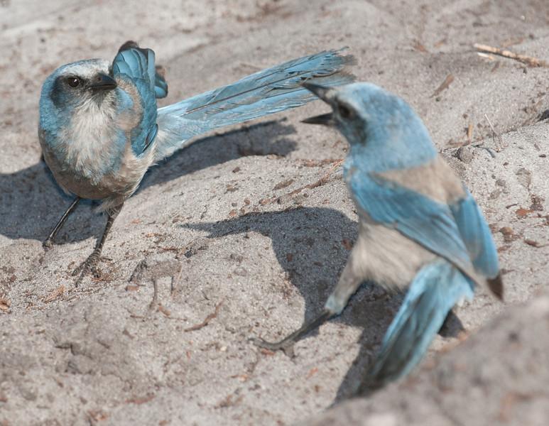 • Cruickshank Sanctuary Rockledge, FL<br /> • Florida Scrub-jay<br /> • These 2 Scrub-jays in a scuffle