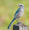 • Cruickshank Sanctuary Rockledge, FL<br /> • Florida Scrub-jay<br /> • See my 4 bands on my legs