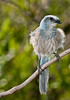 • Cruickshank Sanctuary Rockledge, FL<br /> • Florida Scrub-jay<br /> • A little shaking going on