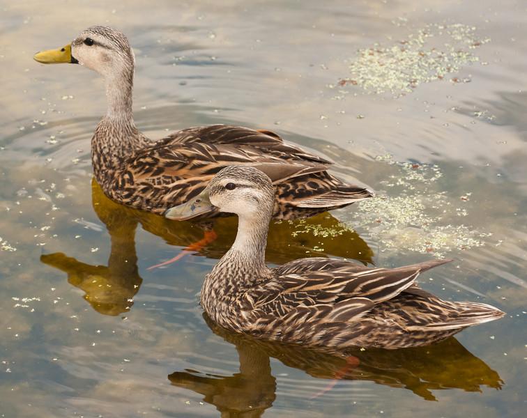 • Green Cay Wetlands<br /> • A pair Mottled Ducks