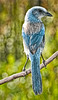 • Cruickshank Sanctuary Rockledge, FL<br /> • Florida Scrub-jay