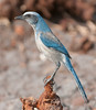 • Cruickshank Sanctuary Rockledge, FL<br /> • Florida Scrub-jay<br /> • This Scrub-jay looks like it's been on a diet