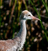 • Sandhill Crane<br /> • Close-up of one of a Juvenile