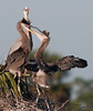 • Great Blue Heron<br /> • There is a lot of scrapping going on