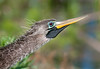 Breeding colors of an Anhinga
