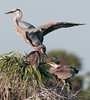 • Great Blue Heron<br /> • If you guys keep on scrapping, <br />   I'm out of here