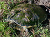 Cooker Turtle laying her eggs