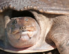• Florida Softshell Turtle<br /> • Yep, her face looks like a pig?