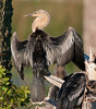 • Female Immature Anhinga<br /> • One of the 3 chicks hanging out at the nest