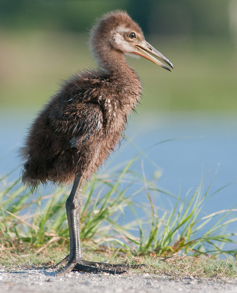 • Limpkin<br /> • One of the 5 babies that were hanging near its parent
