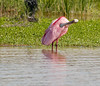 • Roseate Spoonbill<br /> • Just pruning myself