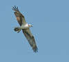 • Osprey<br /> • Hey, where are all the fish?
