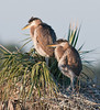 • Great Blue Heron<br /> • The juveniles just woke up from their morning nap