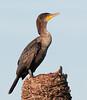 Portrait of a juvenile Double Crested Cormorant