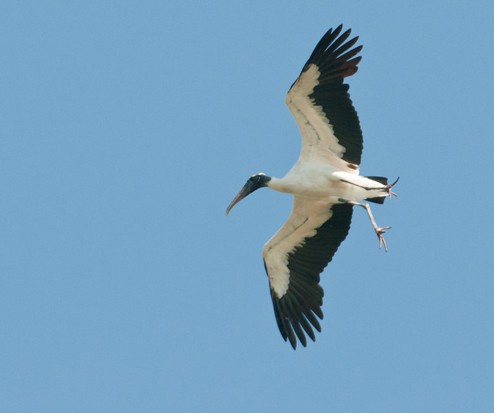 • Wood Stork<br /> • How come your legs are hanging down?