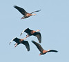 • Black-bellied Whistling Ducks<br /> • How about this for a tight formation