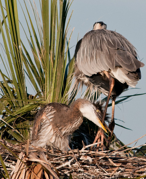 • Great Blue Heron<br /> • Hey mom please don't go